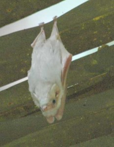 Hunduran White Bat