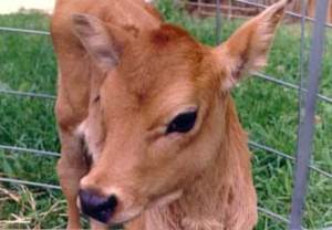 Baby Cows are Friends Not Food