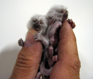 Extremely Tiny Marmosets