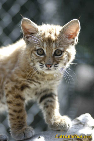 Cute baby bobcat - photo#5