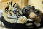 dachshund and tiger cub