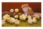 NP-00138-C~Kitten-with-Chicks-Posters