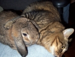 rabbit-cat-lovey_sm