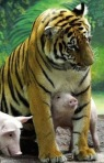 tiger-and-piglet-sm