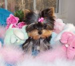 big_adorable yorkie puppies for free adoption 1 1 101