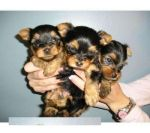 big_cute and adorable teacup yorkie puppies for free adoption01