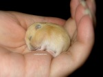 baby-hamster-pudding-sleeping