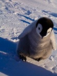 cute-penguin