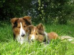 mo_shelties