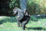 zoo-animals-gorilla-and-baby